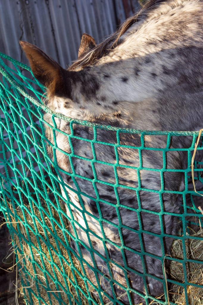 Slowfeeder Heunetz vom Appaloosa zweckentfremdet