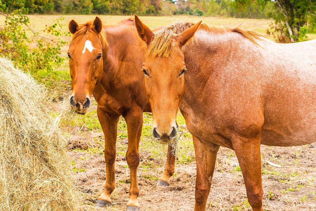 Pferde zertrampeln das Heu, statt es zu fressen und verursachen so hohe Kosten