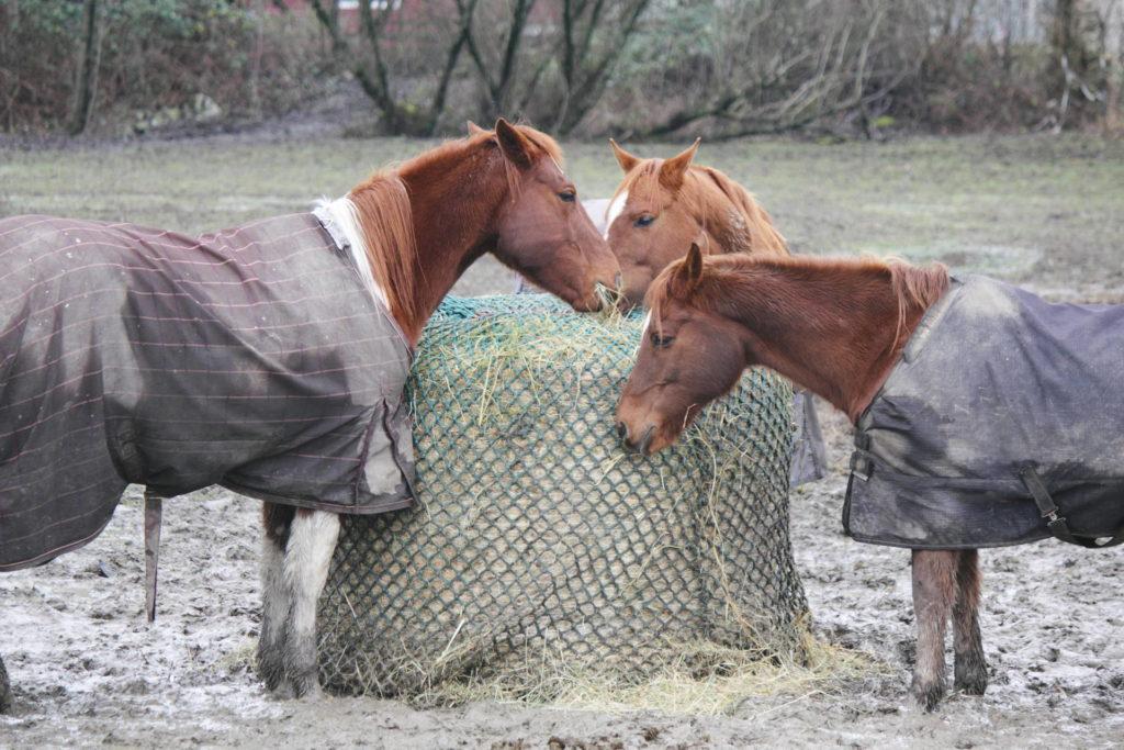 Pferde fressen von einem Rundballen, der mit Heunetz abgedeckt ist