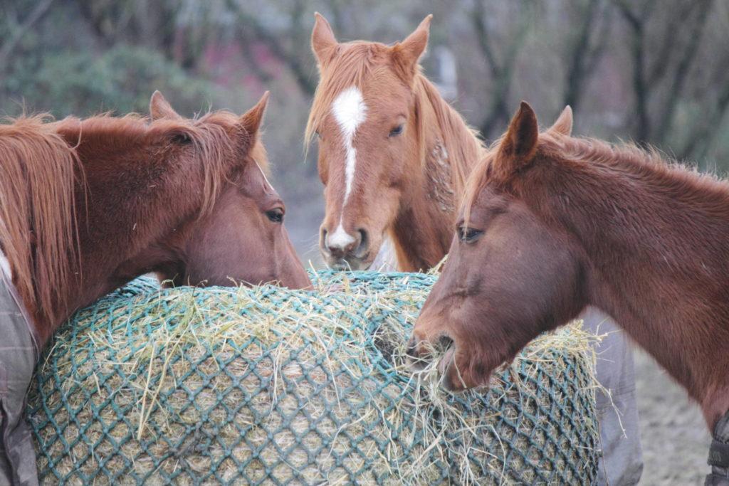 Pferde fressen Heu durchs Heunetz
